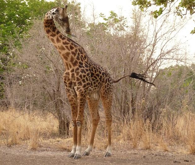 Giraffe auf einer Pirschwanderung in Sambia