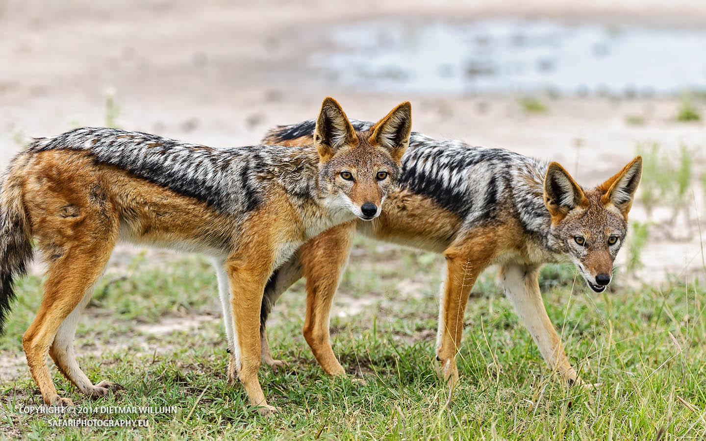 Safariphotography D Willuhn Jackale in Botswana