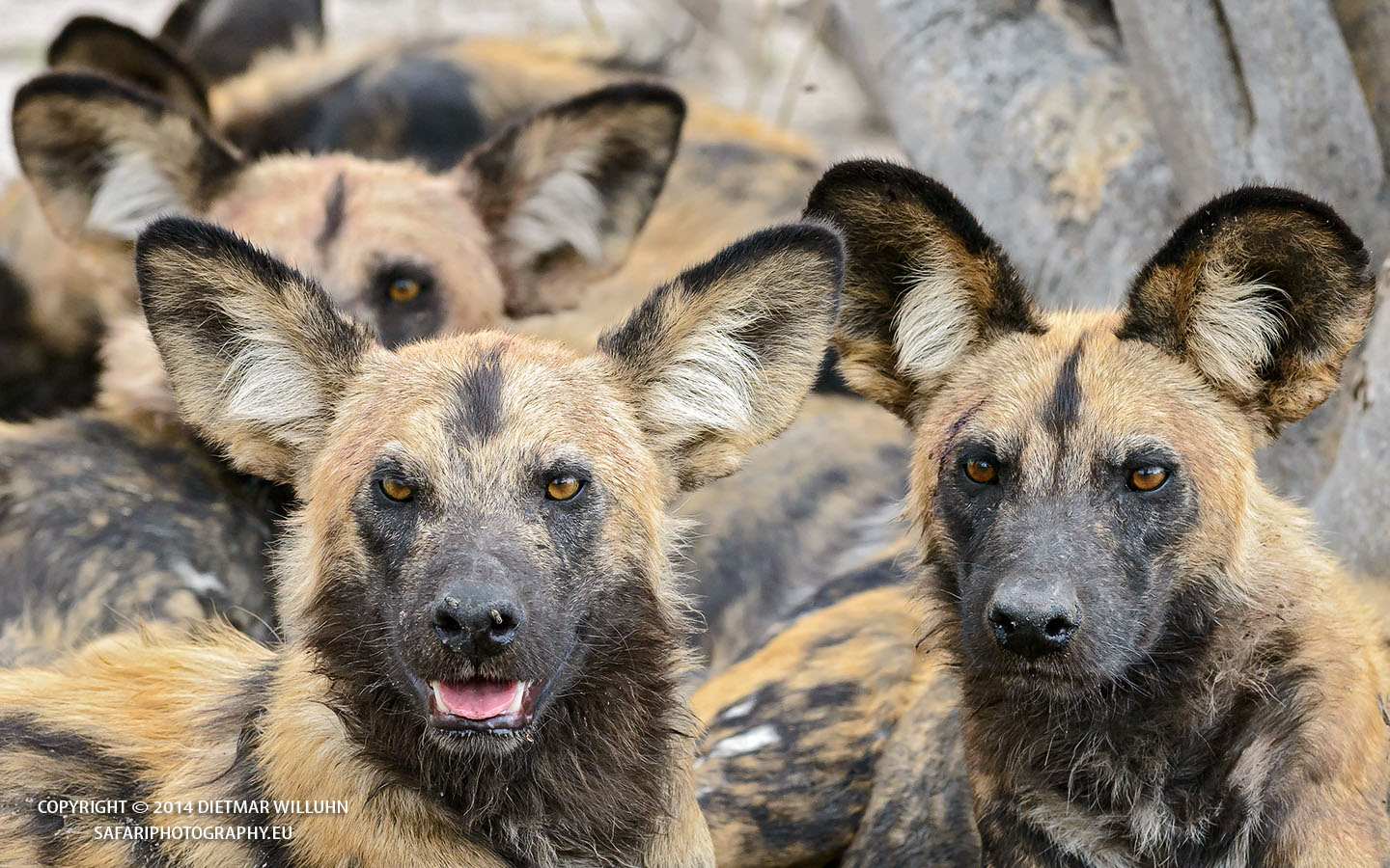 Safariphotography D Willuhn Wildhunde