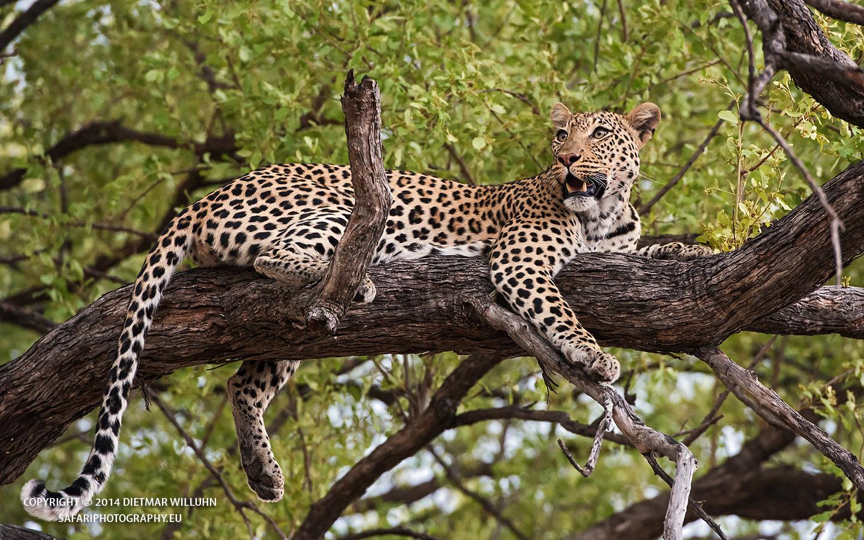 Safariphotography D. Willuhn Baumleopard
