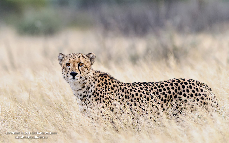 Safariphotography D. Willuhn Gepard in Botswana