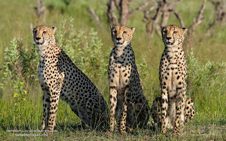 Safariphotography D. Willuhn Geparden in Botswana