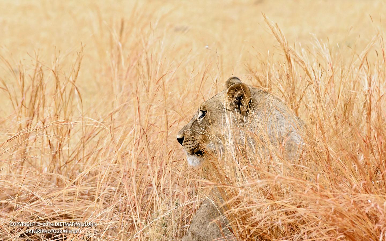 Safariphotography D. Willuhn Löwe im goldenen Gras