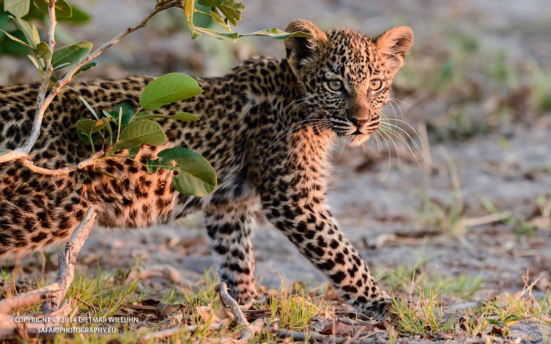 Safariphotography D. Willuhn Leopard auf der Pirsch Botswana