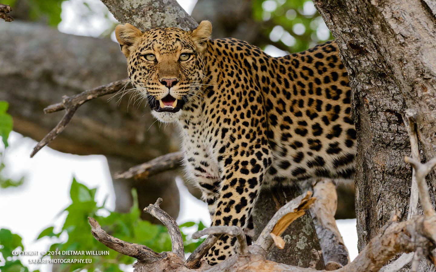 Safariphotography D. Willuhn Leopard