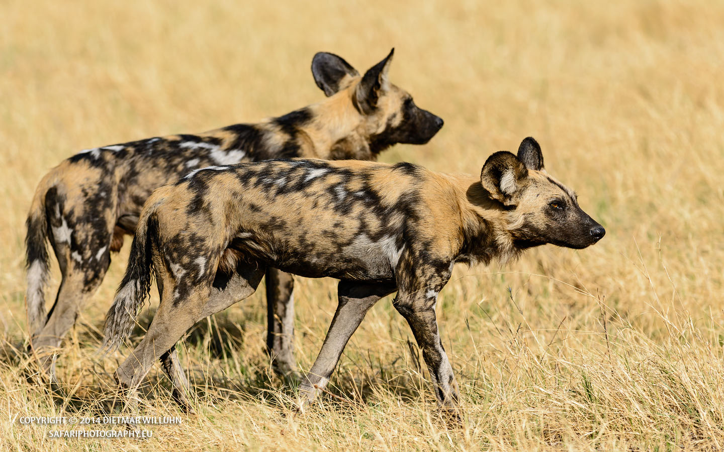 Safariphotography D. Willuhn Wilddogs in Botswana