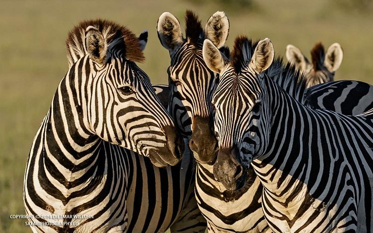 Safariphotography D. Willuhn Zebras