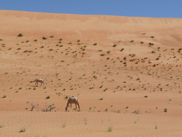 Dünen und Kamele in den Wahiba Sands