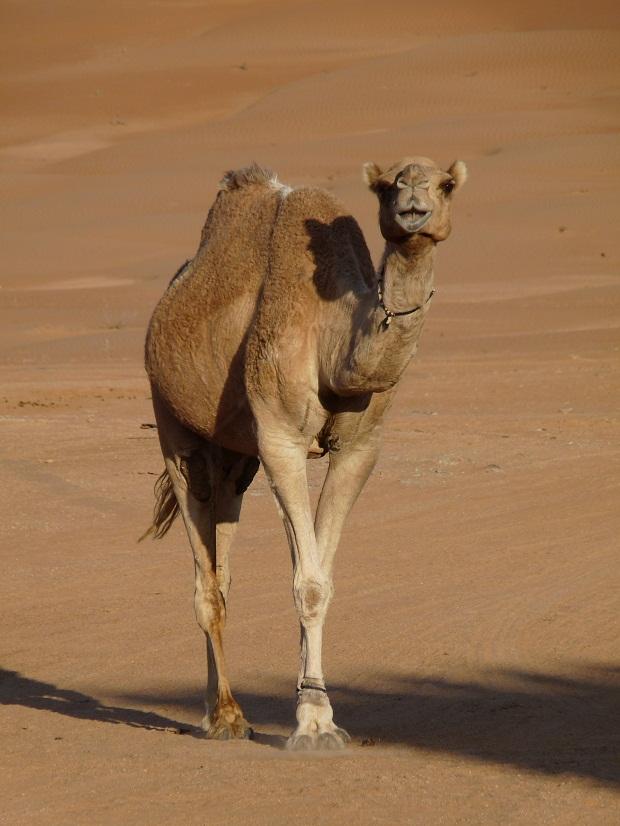 Lachendes Kamel in den Wahiba Sands