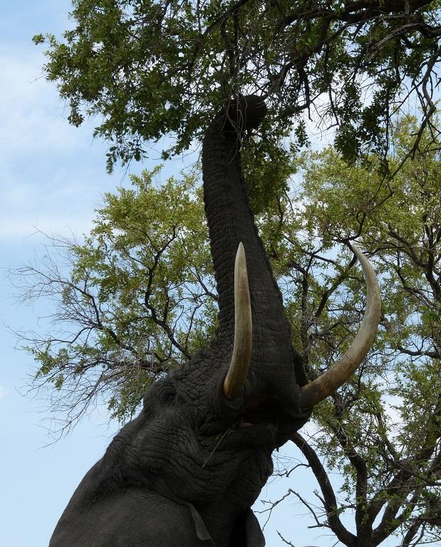 Elefant im Busch von Botswana