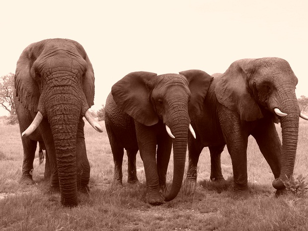 Elefanten in Botswana - Herde von Living with Elephants