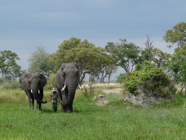 Spaziergang mit Elefanten in Botswana