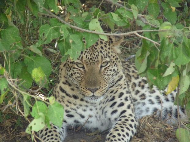 Leopard bei Kings Pool in Botswana
