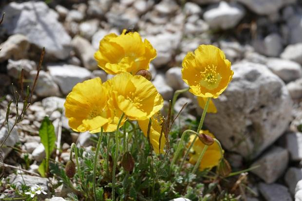 Blumen im Geröll der Dolomiten am Langkofel