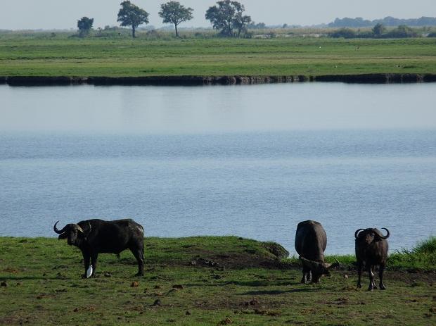 Büffel beim Grasen im Chobe