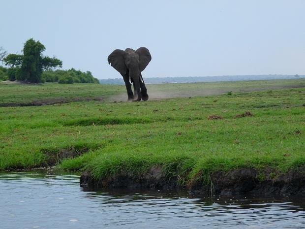 Elefant auf einer Insel im Chobe River