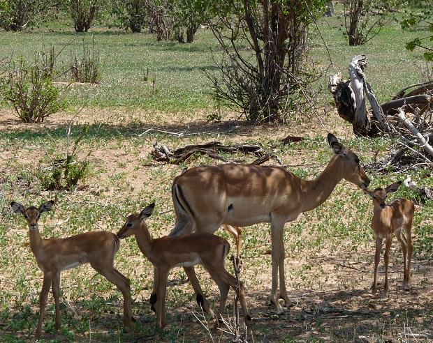 Junge Impalas im Chobe
