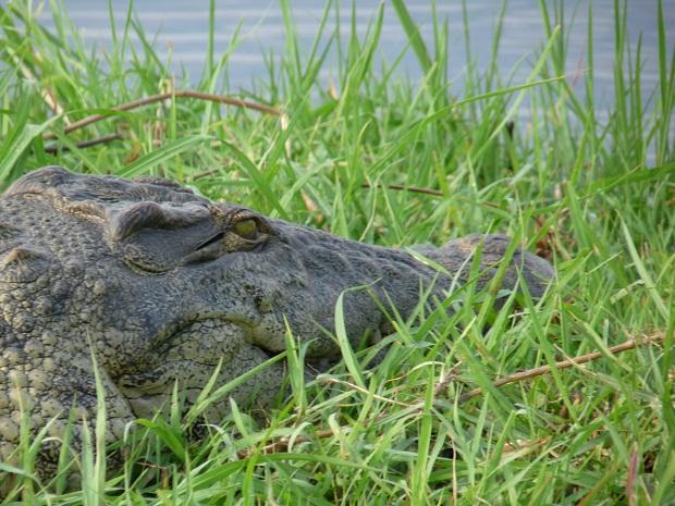 Großes Krokodil auf einer Insel im Chobe River