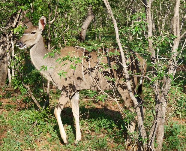 Kudu im Schutz von Büschen