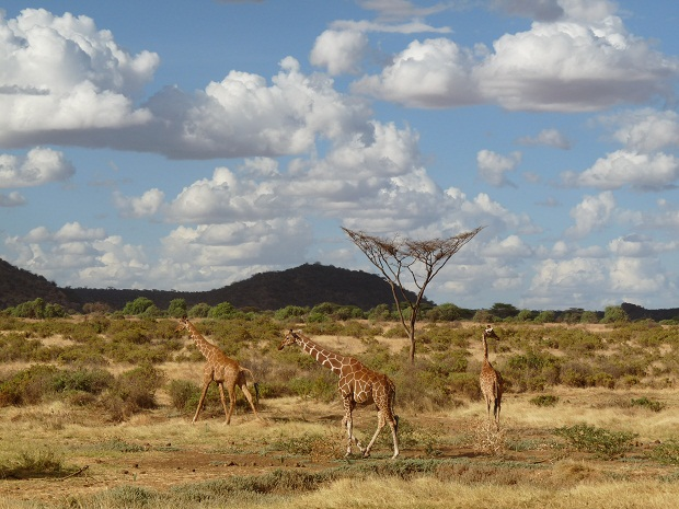 Giraffen unter Akazien