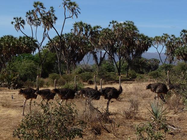 Straußen im Samburu-Nationalreservat