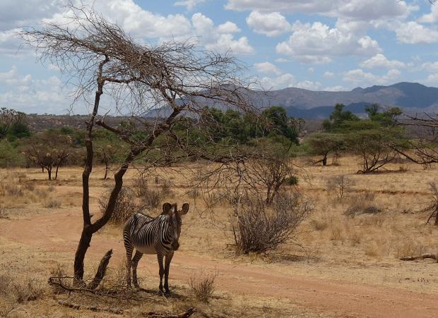 Zebra unter Akazie