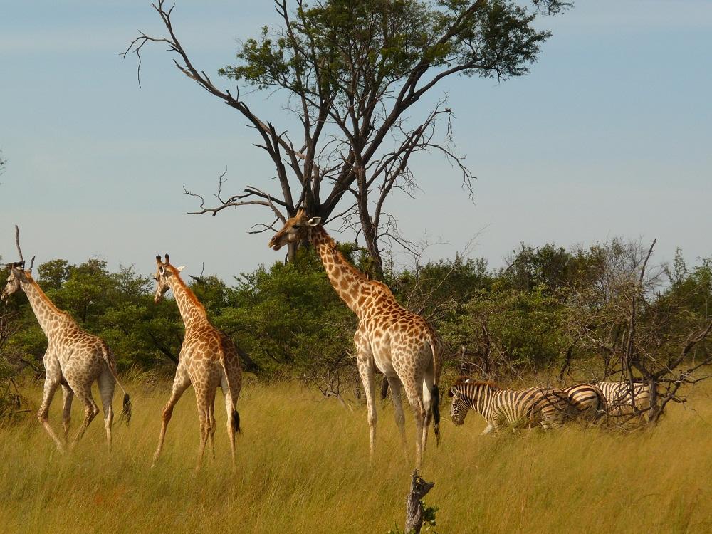 Giraffen und Zebras in Botswana