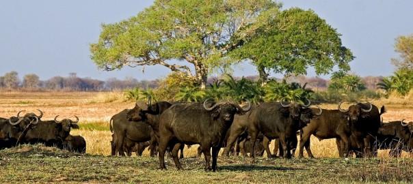 Safaris in Sambia