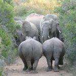 Elefanten und Nashörner im Kariega Game Reserve Südafrika