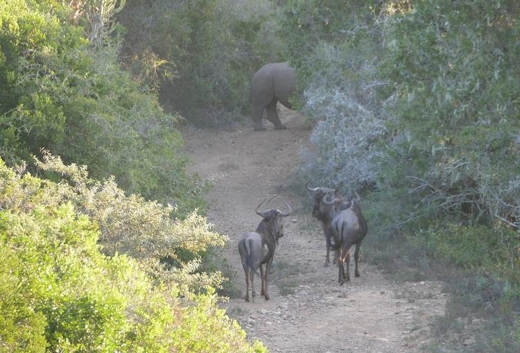 Elefanten gegen Nashörner Gnus