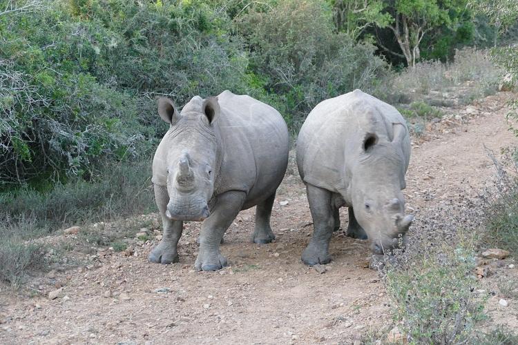 Nashörner vor dem Geländewagen von Settler's Drift