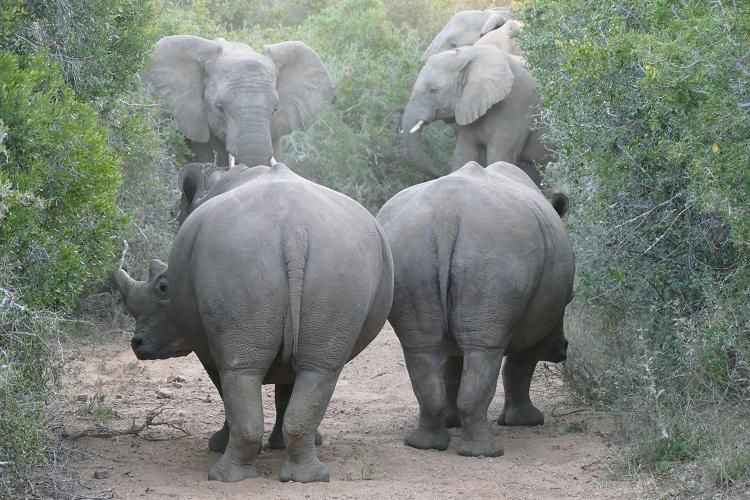 Nashörner nähern sich den Elefanten langsam
