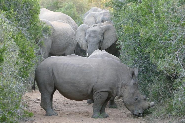 Nashörner blockieren Elefanten den Weg