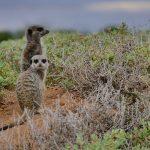 Erdmännchen in Südafrika - Meerkat Tour von De Zeekoe