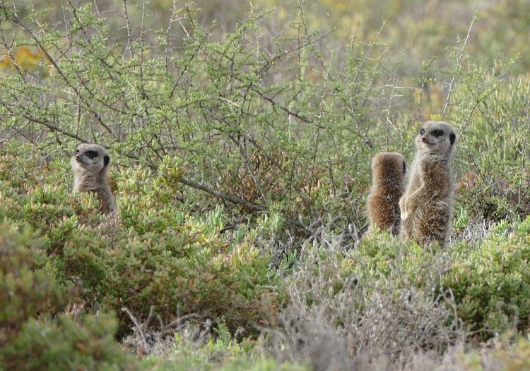 Meerkat Tour Oudtshoorn
