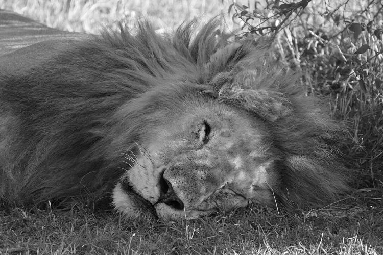 Löwe in der Masai Mara