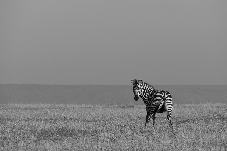 Zebra in der Masai Mara