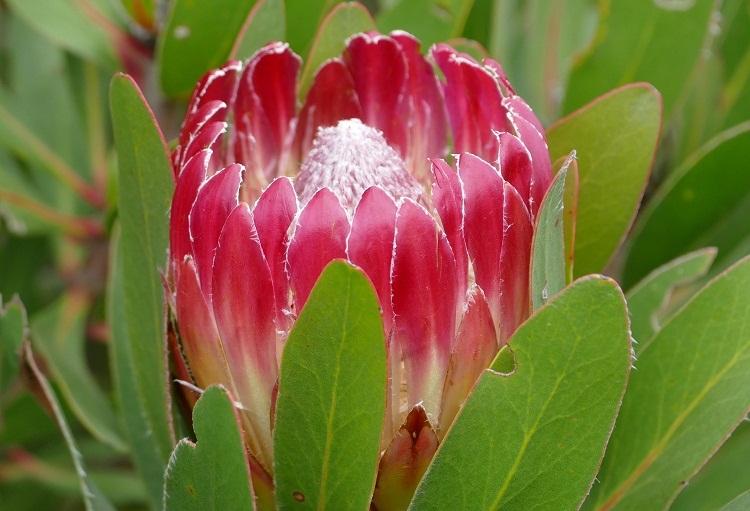 Fynbos in Südafrika