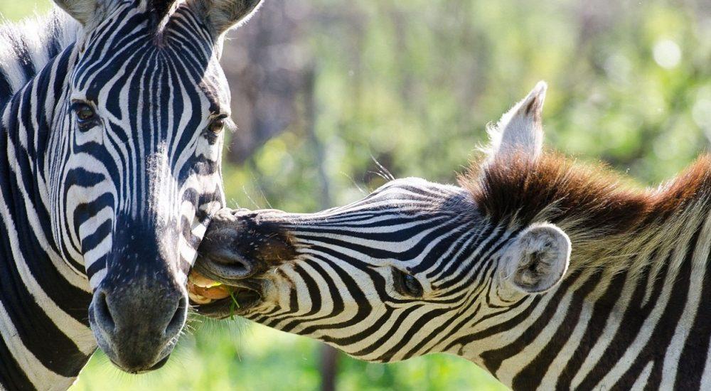 Zebras Sabi Sands Südafrika