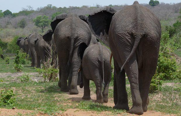 Elefantenherde in Botswana