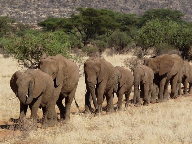 Elefantenherde im Samburu
