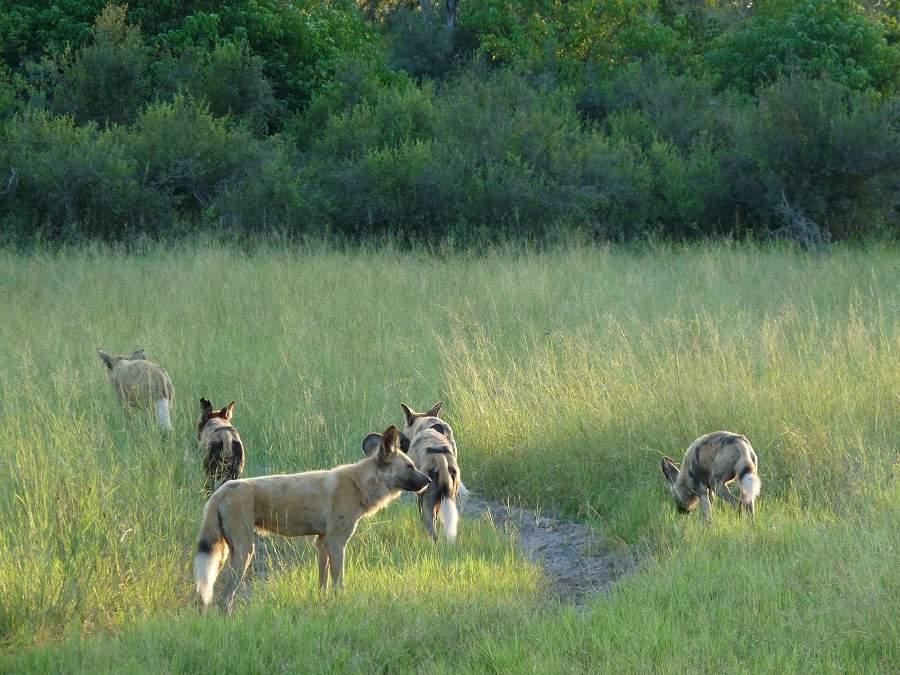 Wild Dogs in Botswana