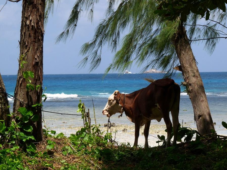 Kuh am Strand von La Digue