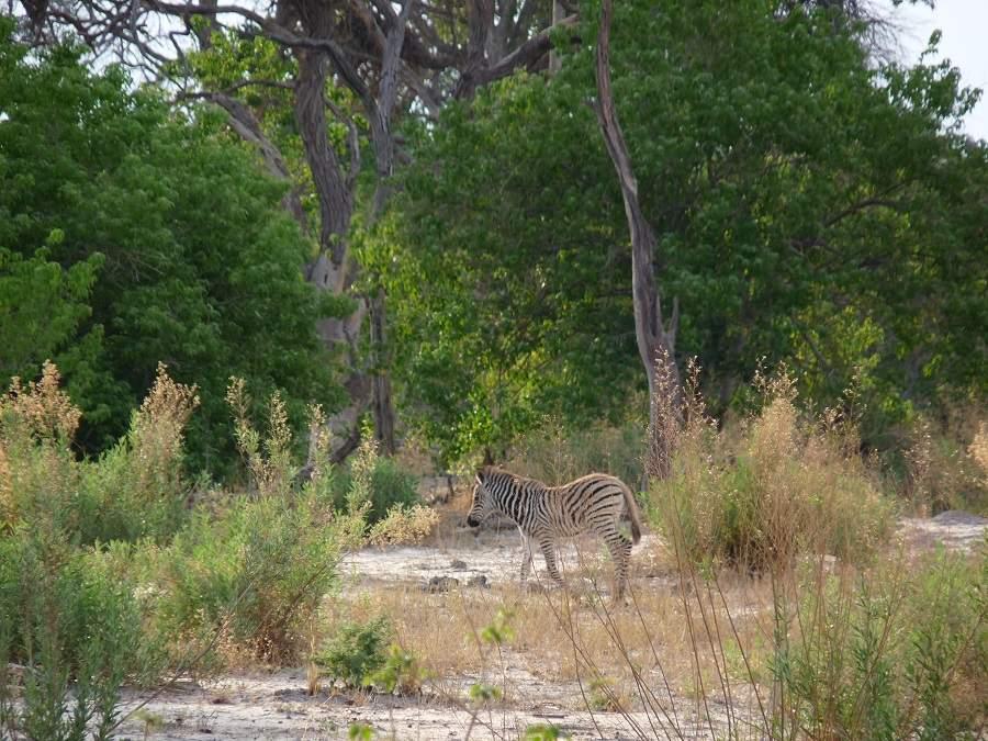Zebra im dichten Busch in Botswana
