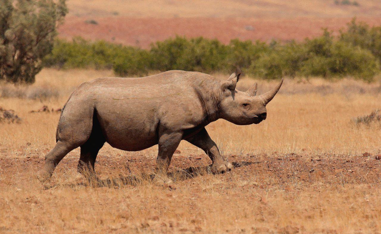 Desert Rhino Pirschfahrt Spitzmaulnashorn