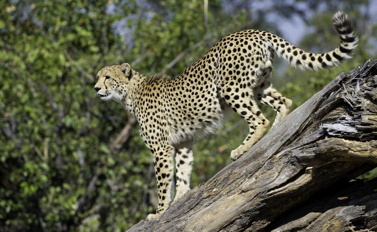 Gepard bei Duma Tau