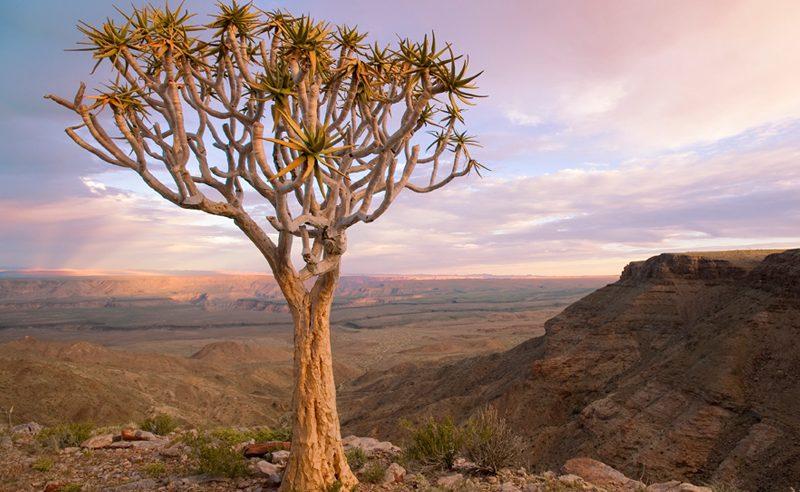 Köcherbäume sind typisch für Namibia - sie werden viele auf einer Namibia Rundreise mit Genuss Touren sehen