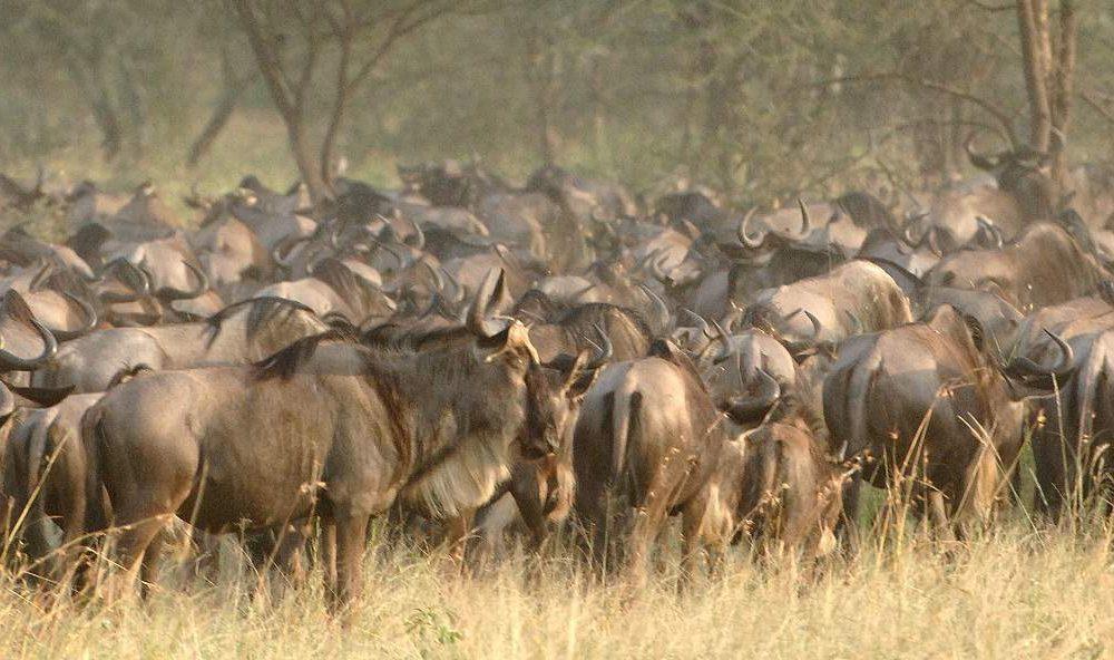 Sehen Sie die große Migration auf einer exklusiven Flugsafari in Tansania