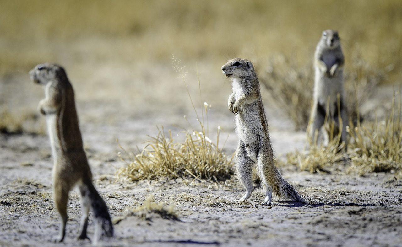 Erdmännchen in der Kalahari in Botswana
