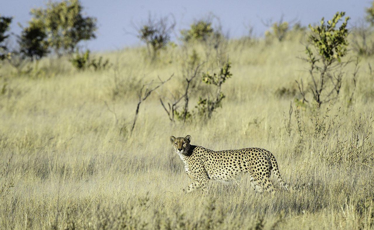 Gepard im Kalaharigras